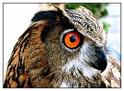 Photo of Gufo reale (Eagle owl)